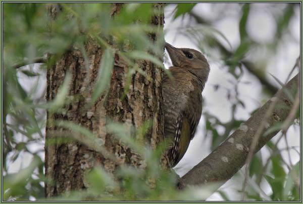 Grey-Headed Woodpecker (Picus canus)
