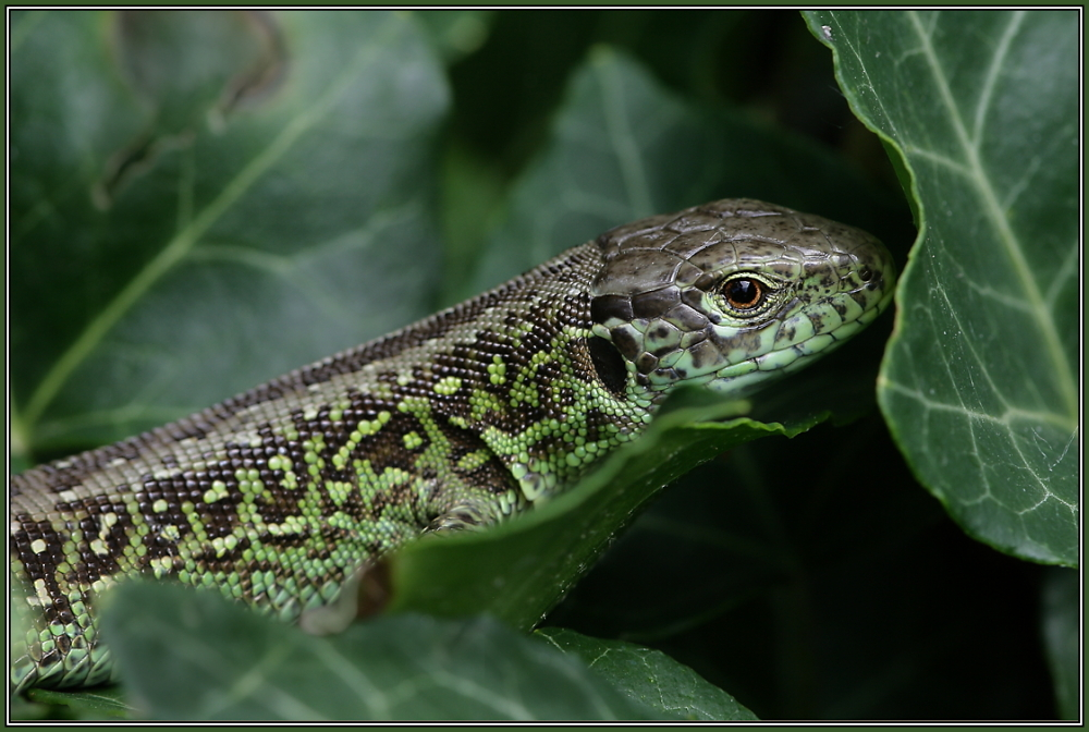 Sand Lizard - male (Lacerta agilis)