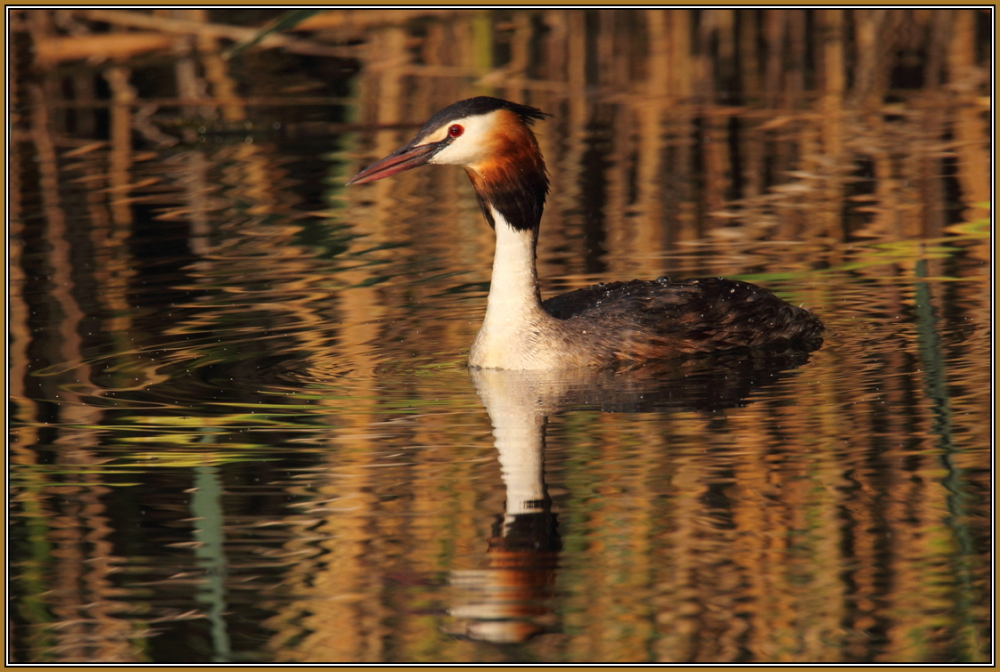 Great crested grebe in the evening sun