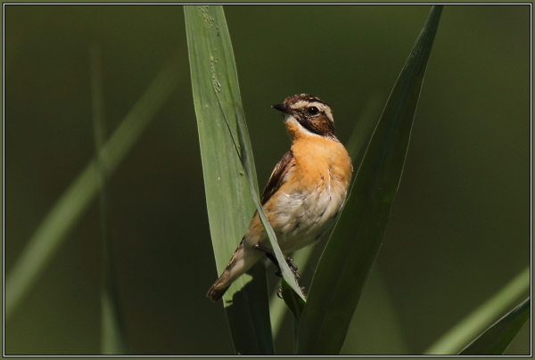 Whinchat  - Male  (Saxicola rubetra)