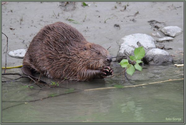 Beaver  2/5