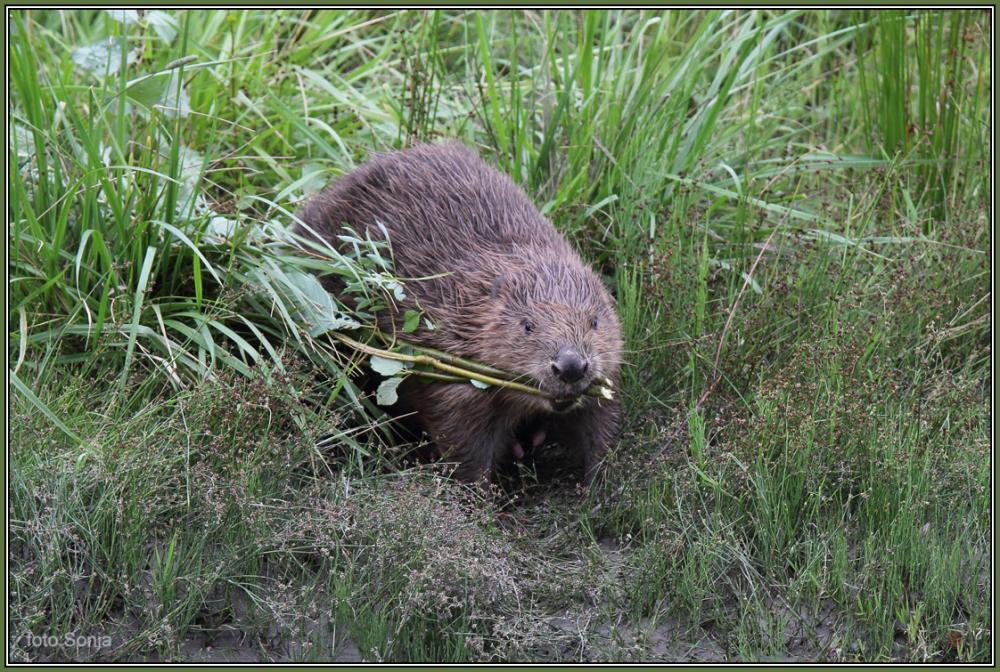 Beaver  - Male  1/5