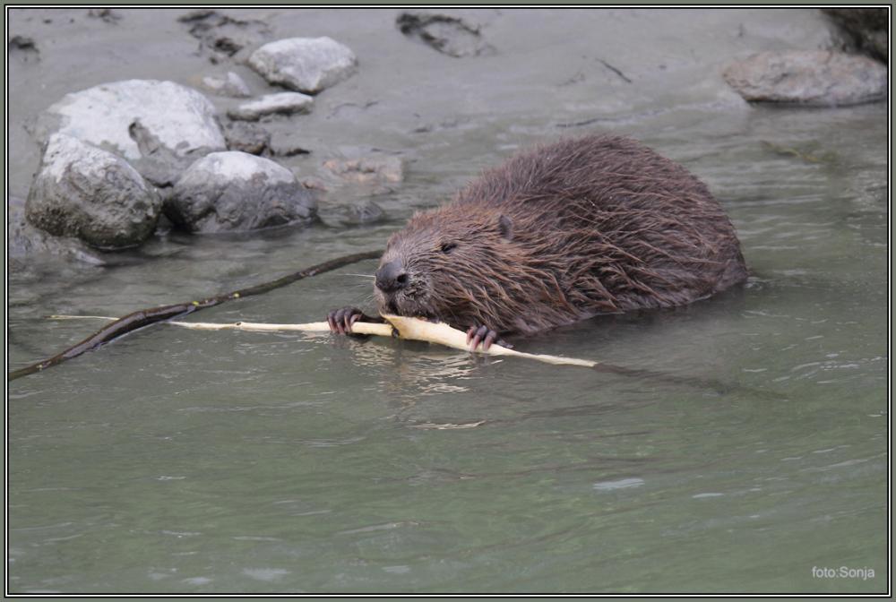 Beaver  4/5