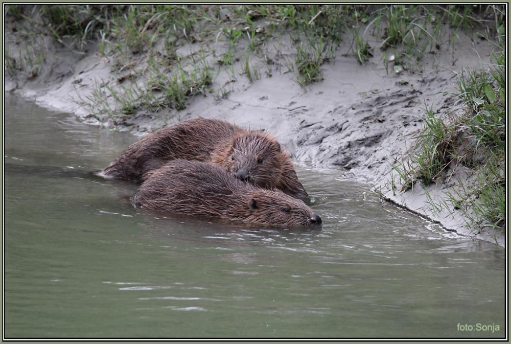 Beaver   5/5
