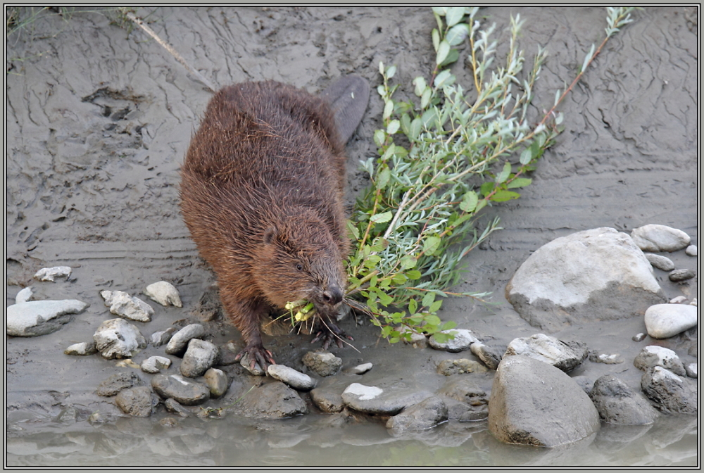 Beaver   3/5