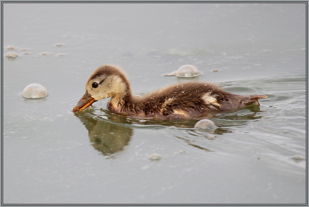 Red crested Pochard - juvenile