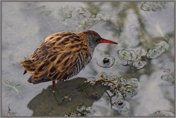 Water Rail     2/2   (Rallus aquaticus)
