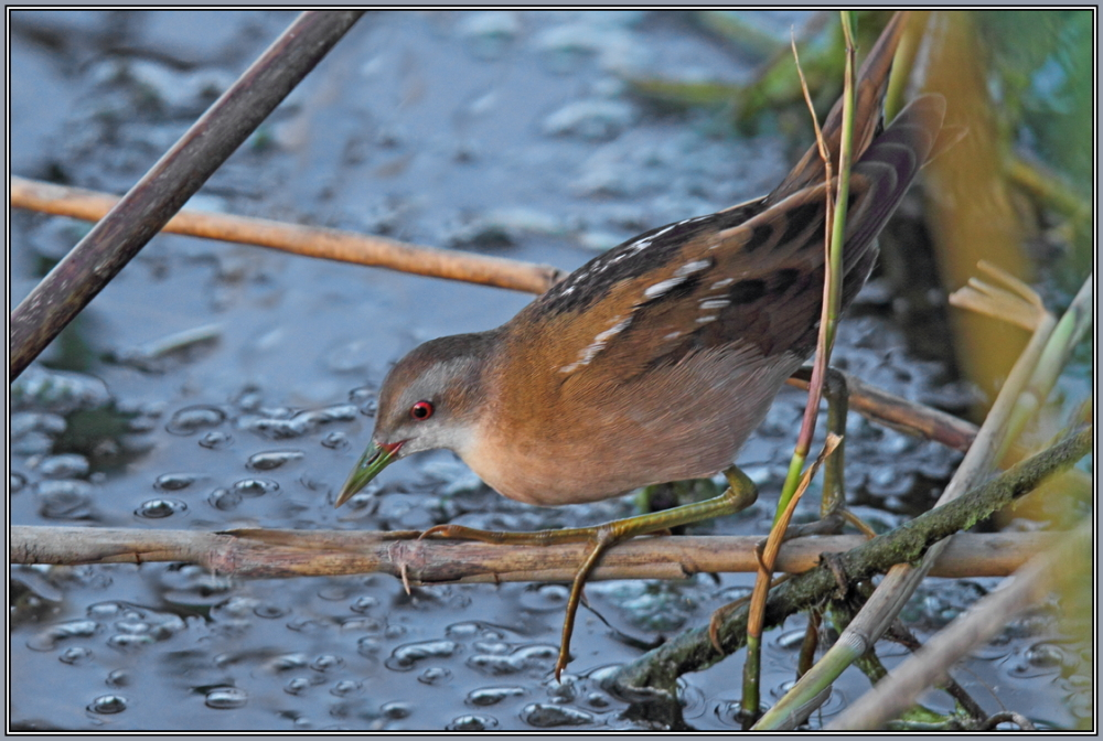 Little Crake - Female  (Porzana parva)