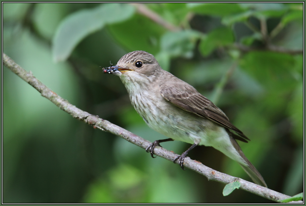 Spotted Flycatcher (Muscicapa striata)