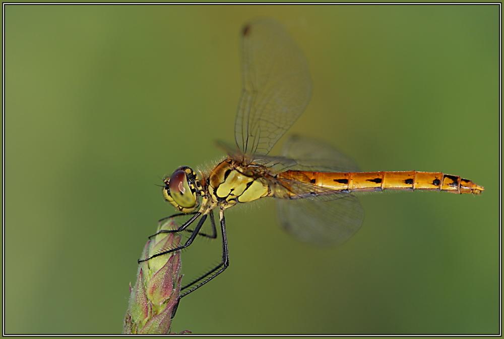 Sympetrum depressiusculum - Female
