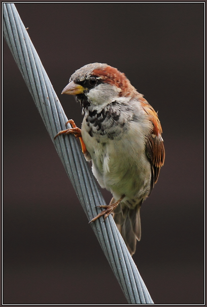House Sparrow - Male (Passer domesticus)
