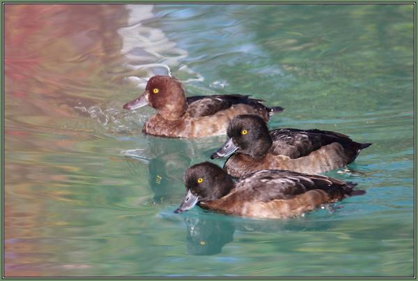 Tufted ducks   (Aythya fuligula)