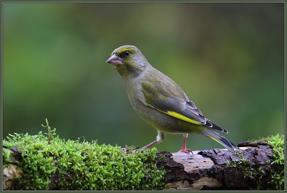 Greenfinch (Chloris chloris) - Female