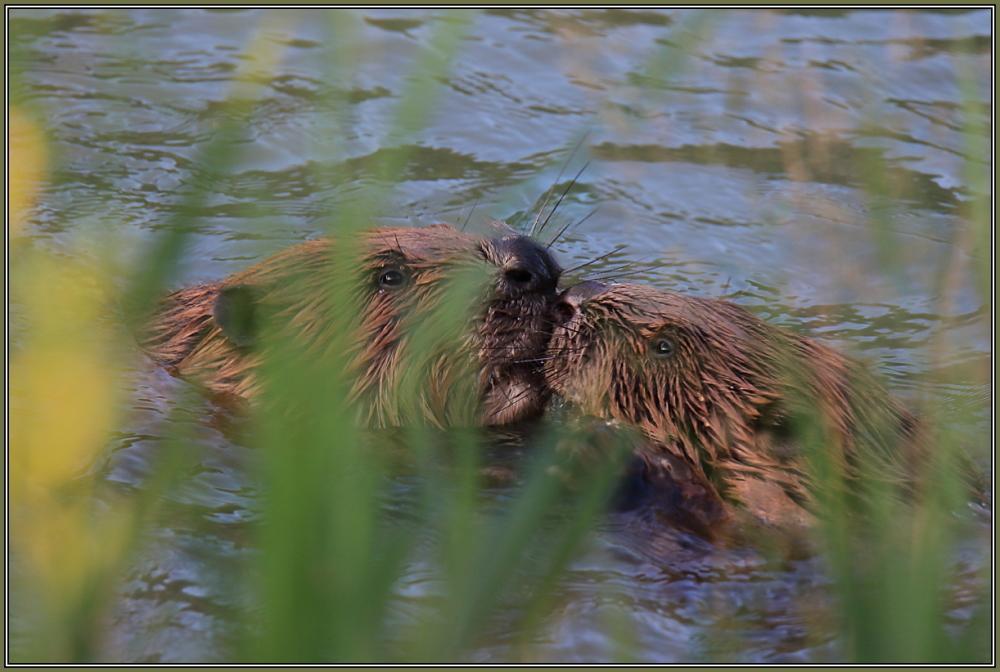 Beaver in love !