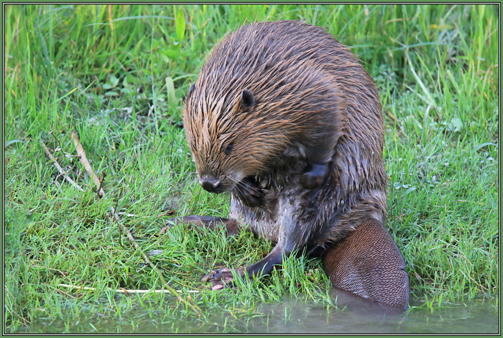 Beaver in Coat Care