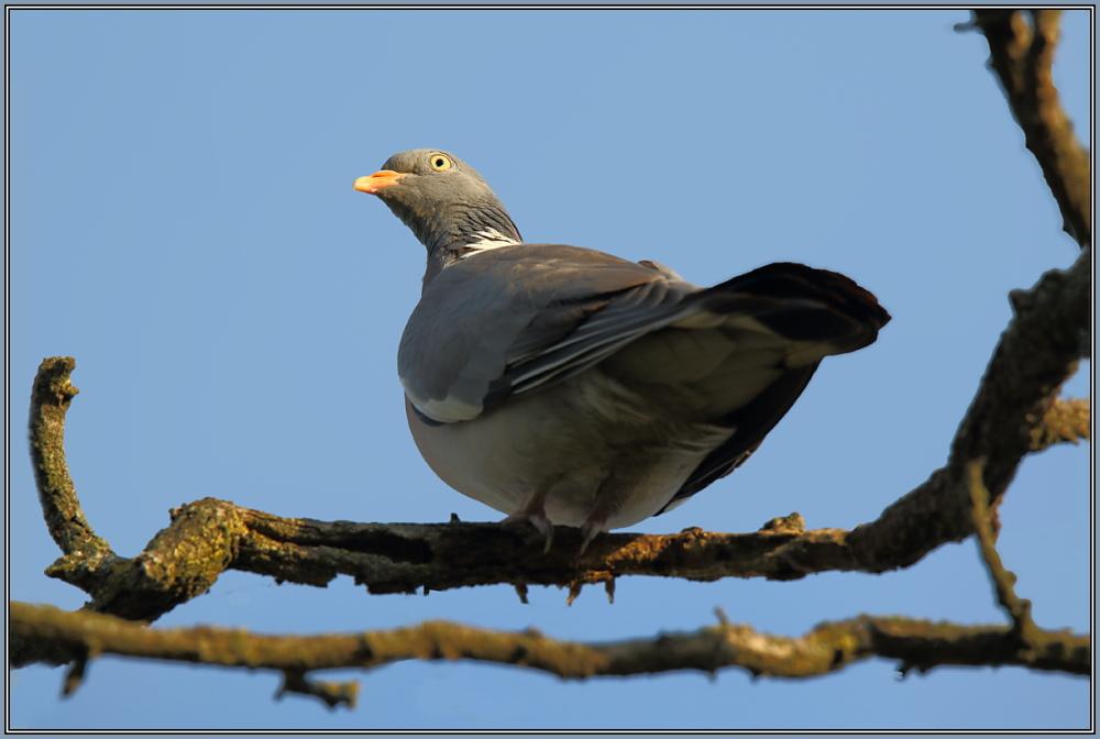 Common Wood Pigeon (Columba palumbus)