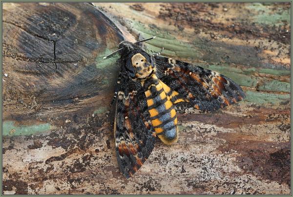 Totenkopfschwärmer (Acherontia atropos)
