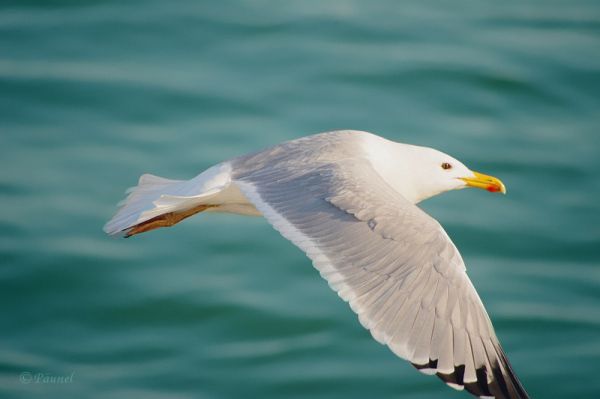 My friend, Jonathan Livingston Seagull 10