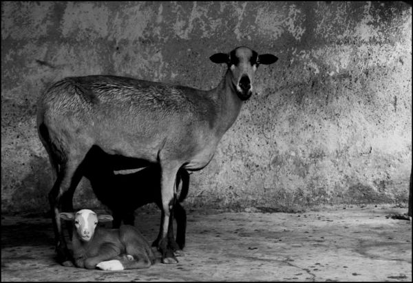 Goats breastfeeding