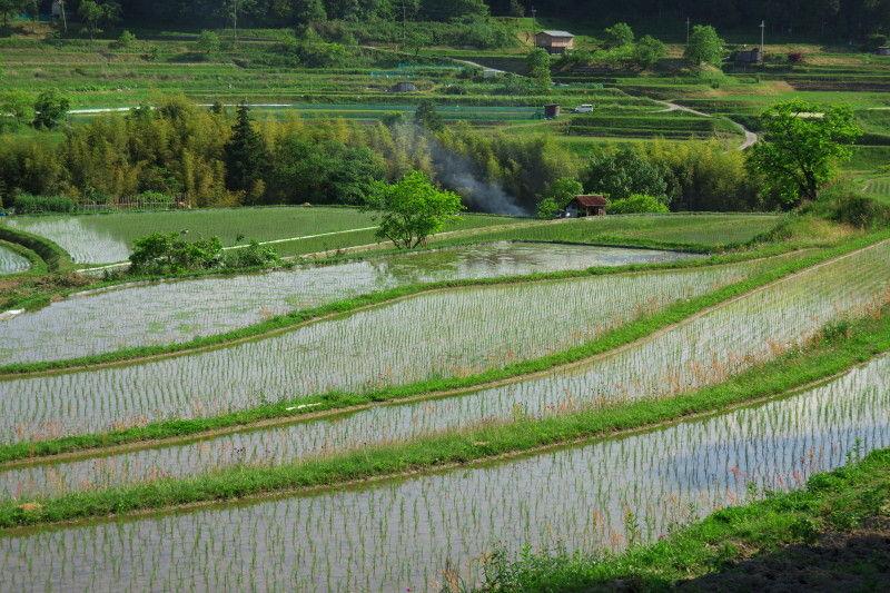 Rice planting season #3