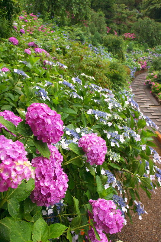 雨の善峯寺 Rainy day, hydrangea in the temple #1