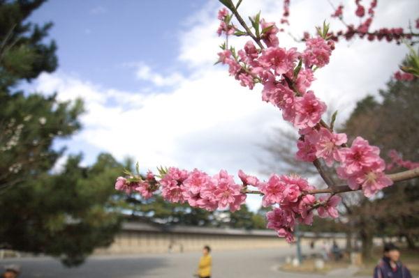 Season of peach blossom #2