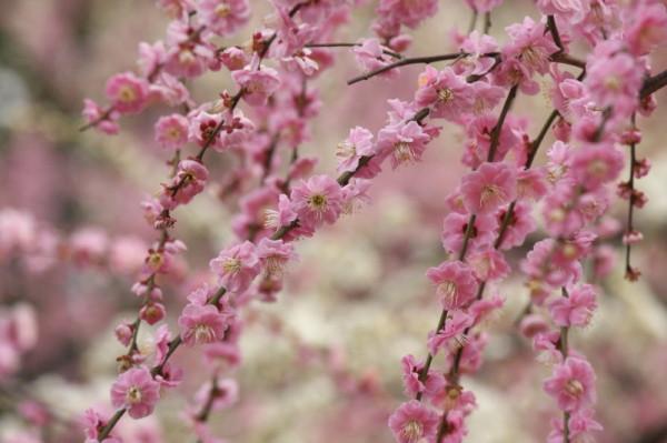 Plum blossom 2012 #4