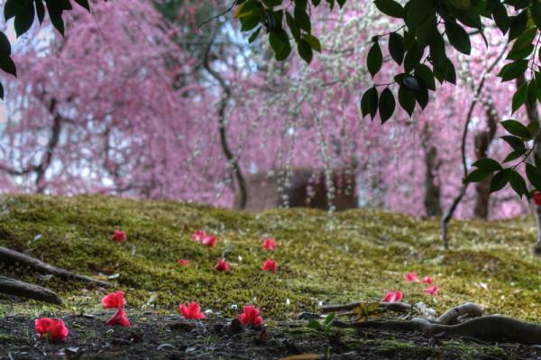 Fallen camellia and plum blossom