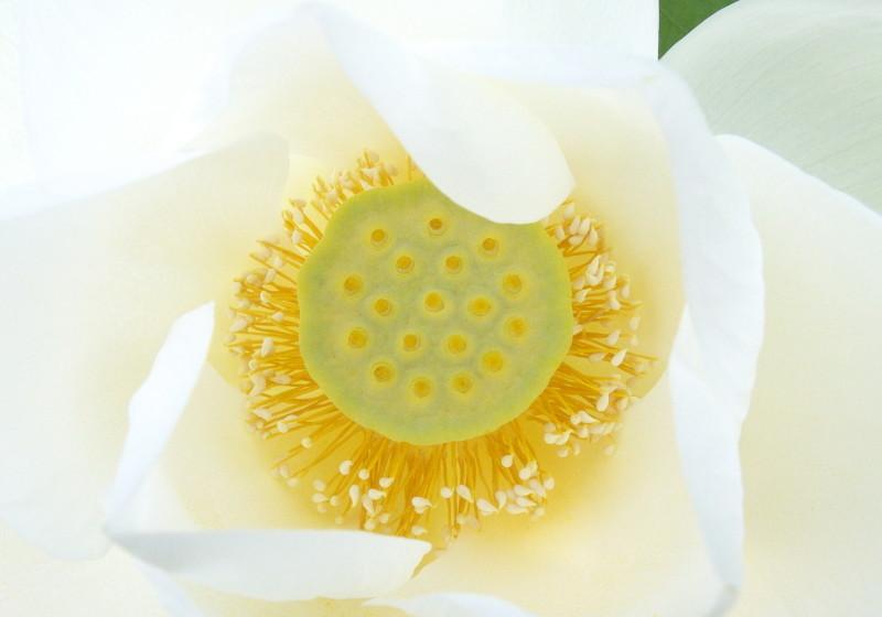 Lotus 花果同時 #4