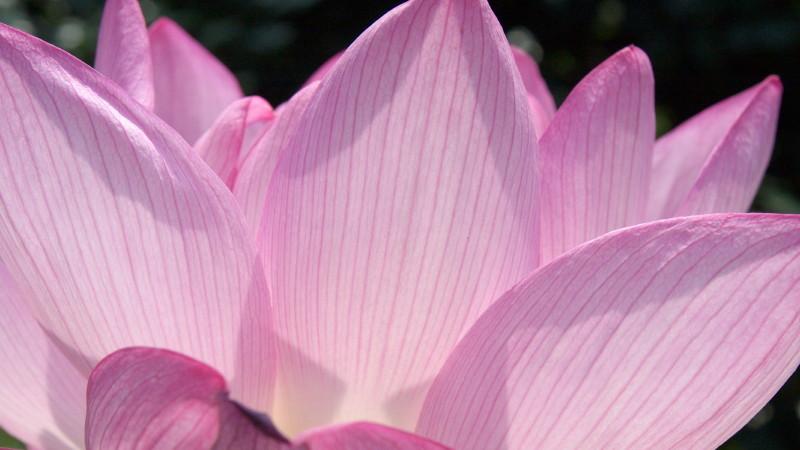 Lotus 花果同時 #5