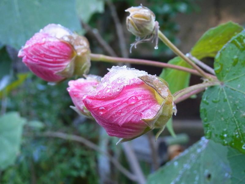 iced drunken hibiscus