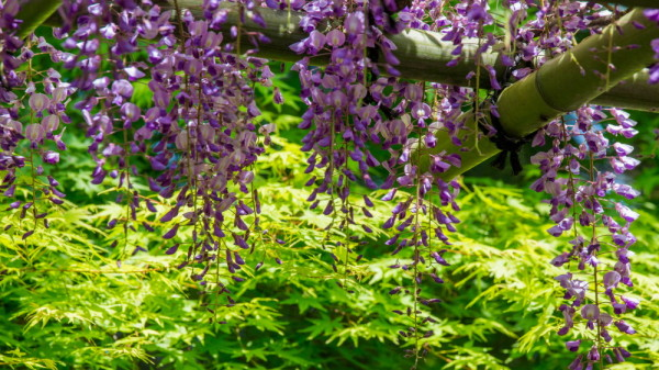 wisteria and fresh verdure