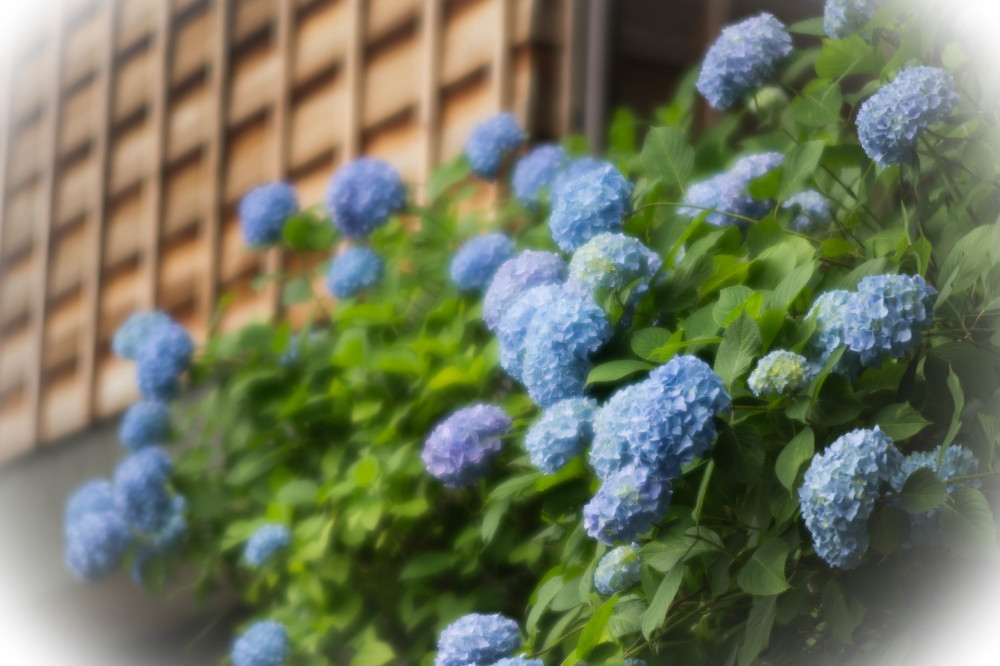 Hydrangea next to a wooden wall