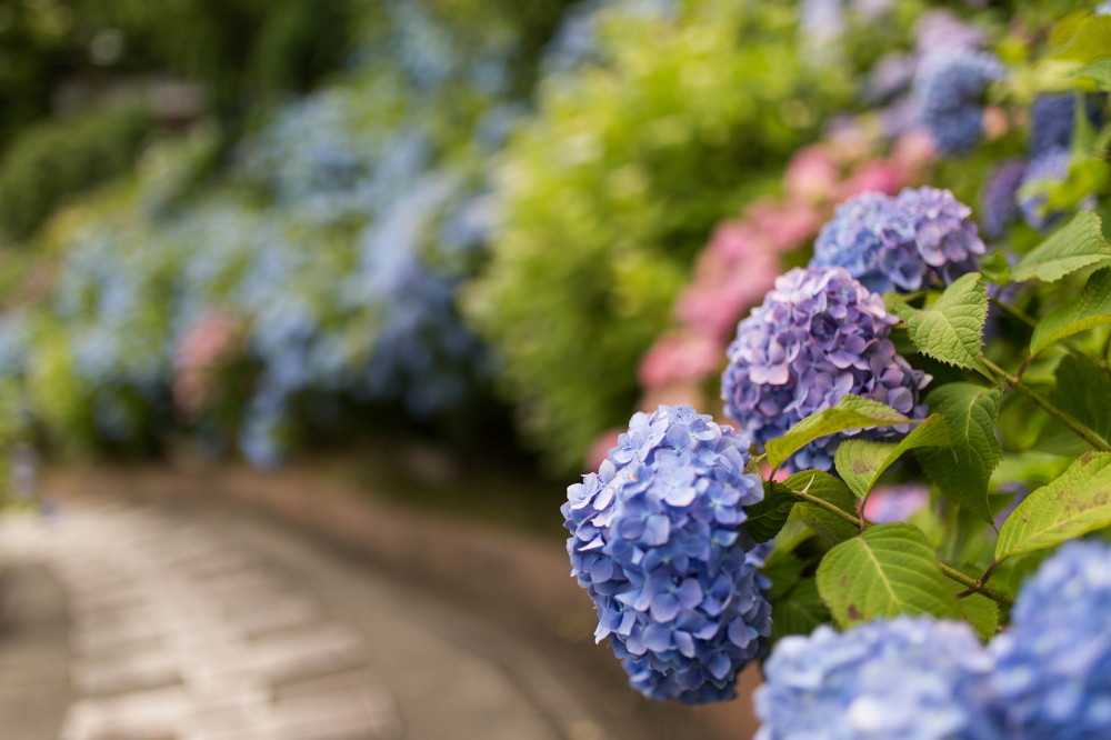 Hydrangea beside a pavement #2