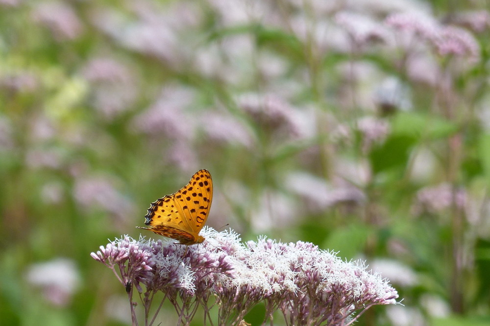 Butterflies love Fujibakama #1