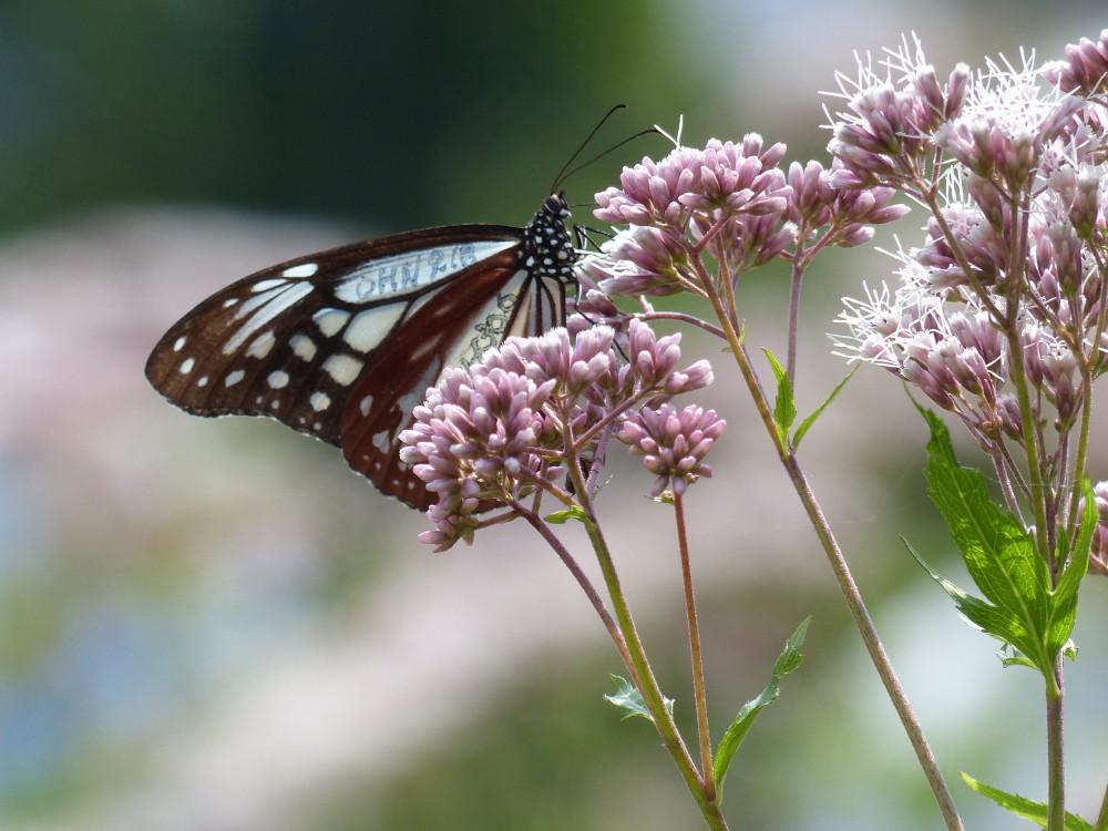 Butterflies love Fujibakama #3