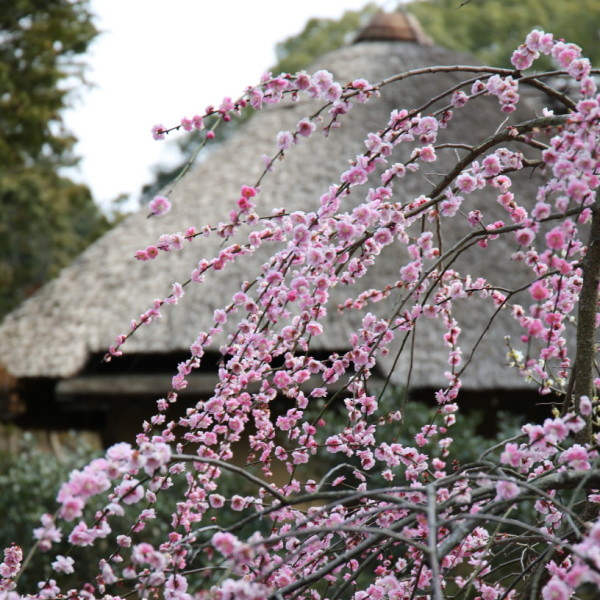 weeping blossoms