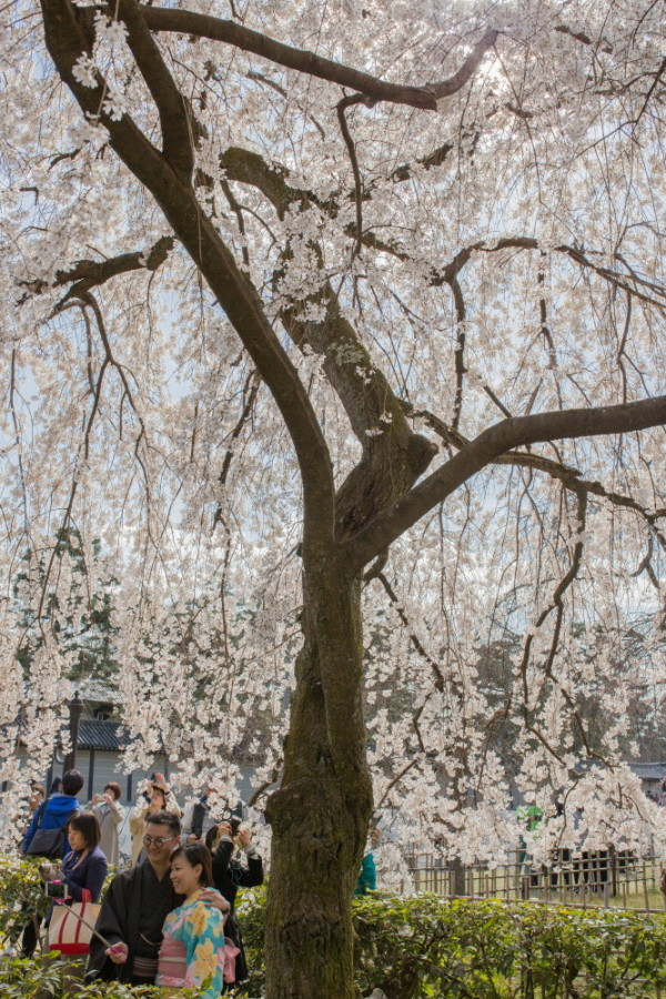 Cherry Blossom Viewing 2016 #4