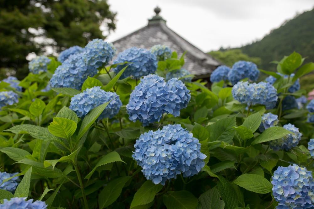 Rainy day my hydrangea will come #1