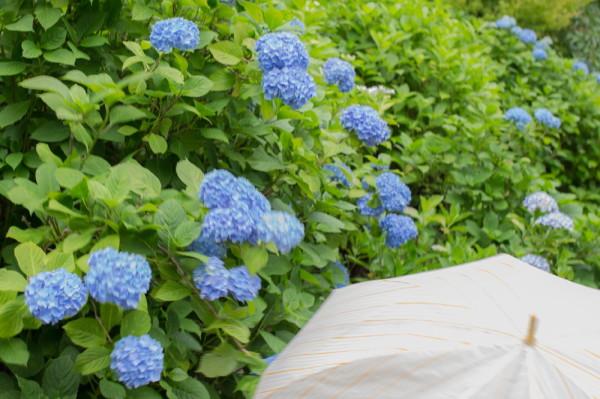 Rainy day my hydrangea will come #3