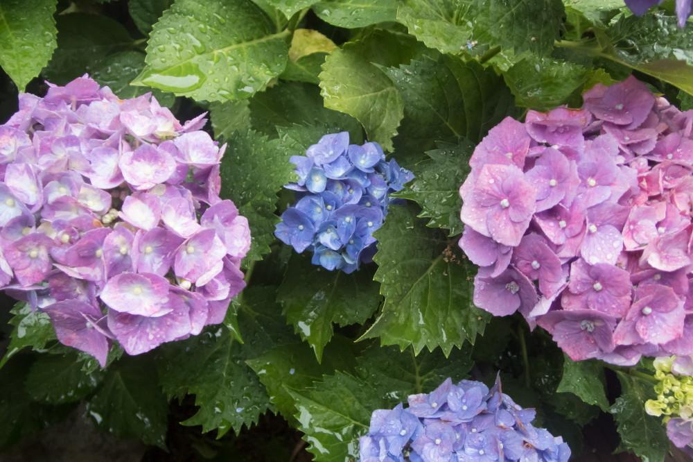 Rainy day my hydrangea will come #7