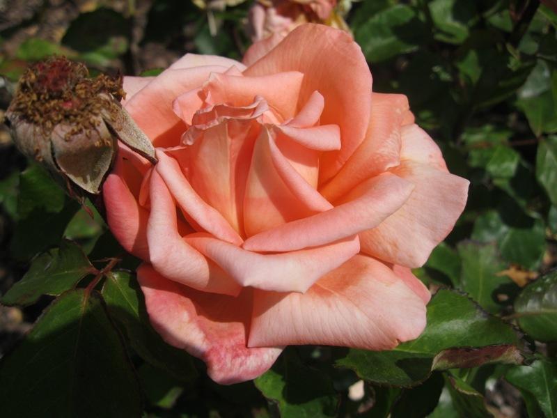 Pètals rosats