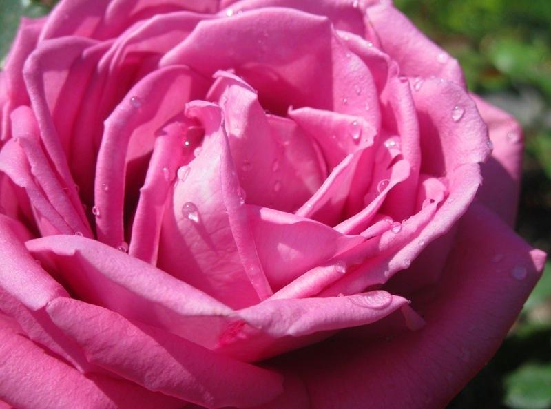 "La vida en  ""rosa""."