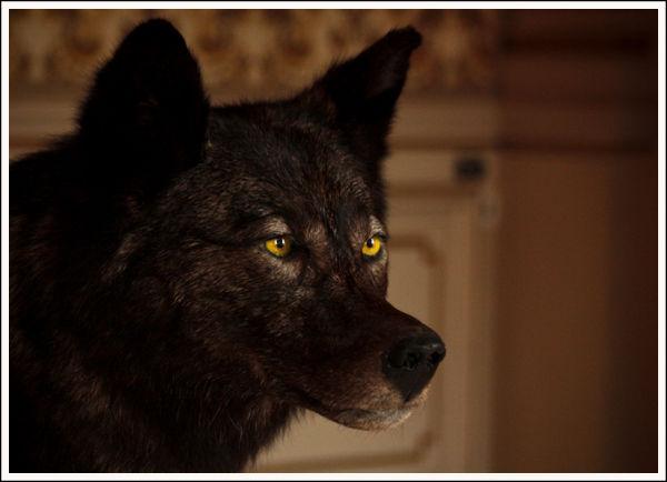 WolfCrawling