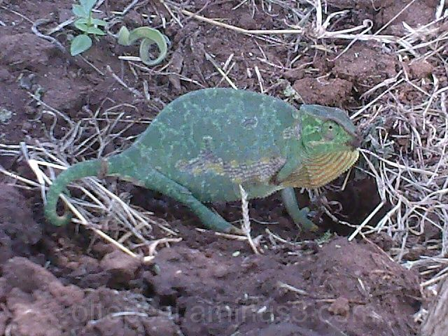 Three legged chameleon