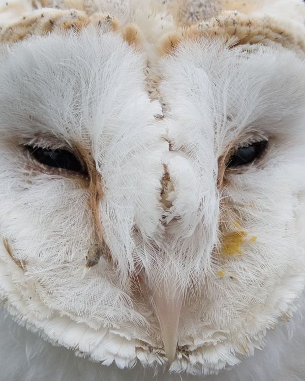 barn owl eyes