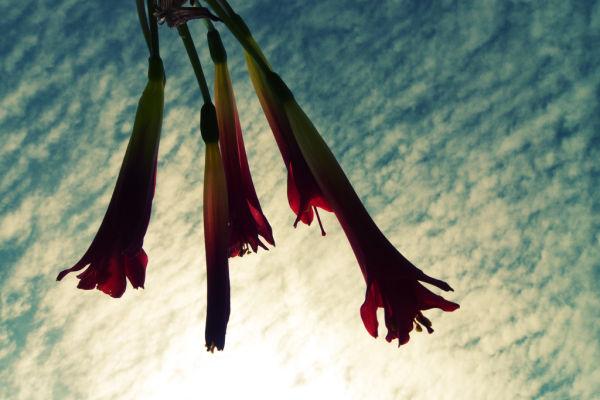 flores silvestres, añañucas