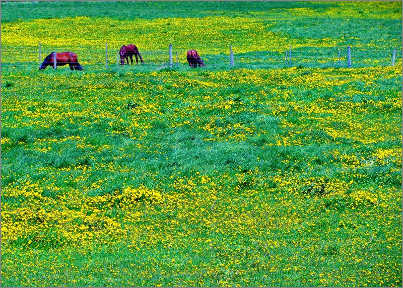Horses in dandalions world