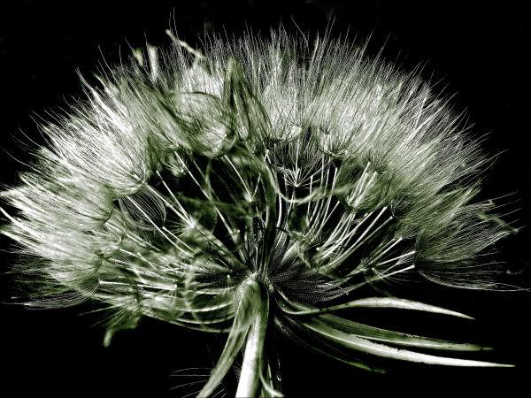 Autumn Dandelion
