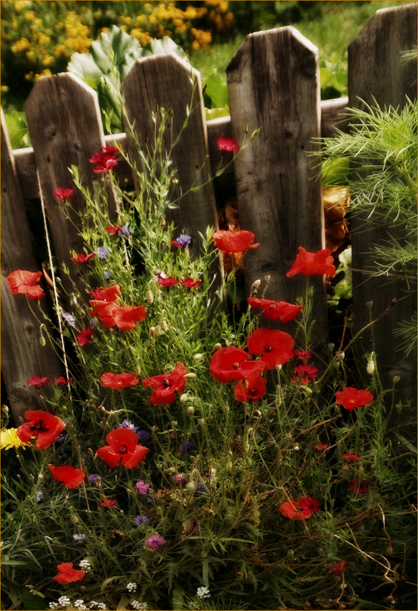 Fence and Flowers